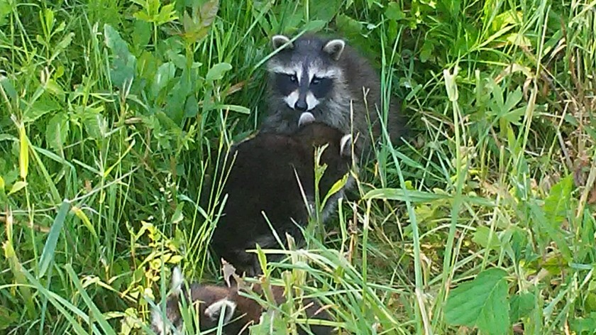 This image has an empty alt attribute; its file name is baby-raccoons.jpg