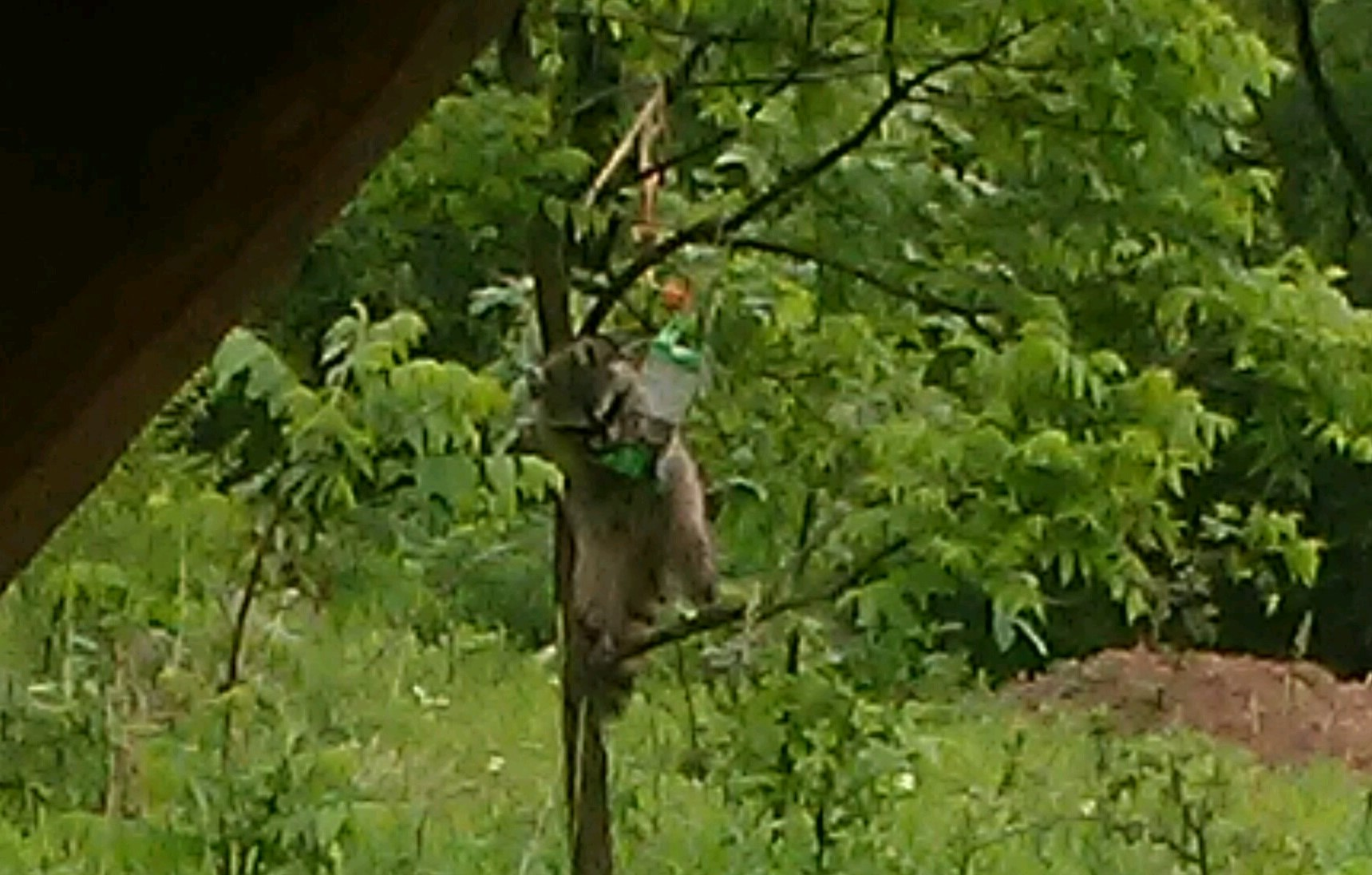 Raccoon second picture